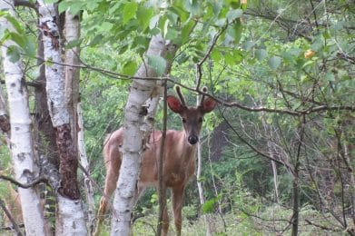 Animal control imagery of a deer